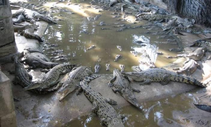 Ферма крокодилов на Пхукете