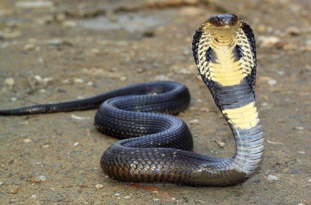 Королевская кобра в Тайланде