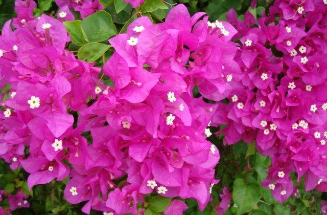 Цветок Бугенвиллия в Тайланде