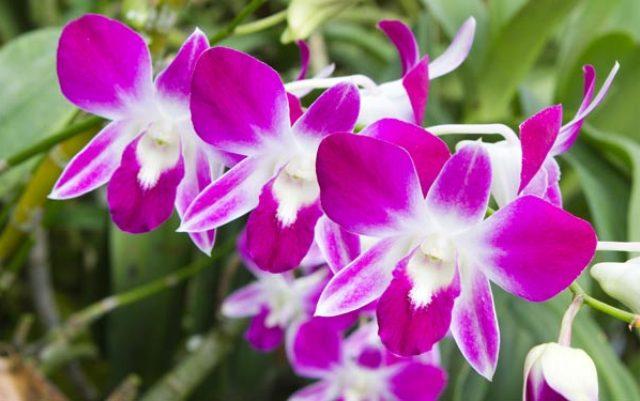 Орхидея в Тайланде