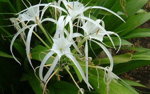 Цветок Гименокаллис в Тайланде