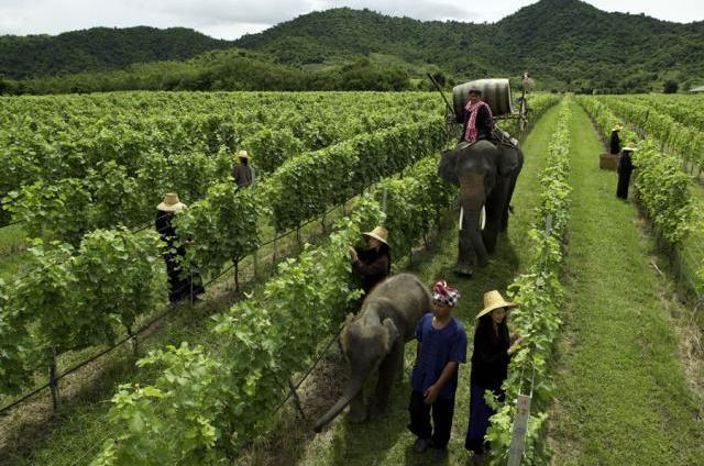 Плантации виноградников