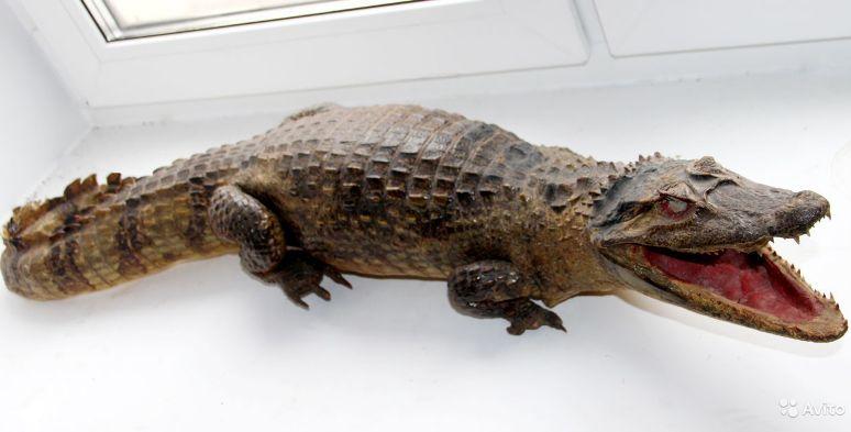 чучело крокодила