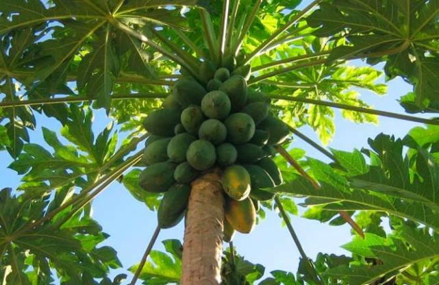 Дерево папайи