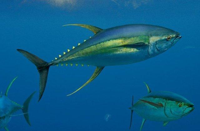 желтоперый тунец