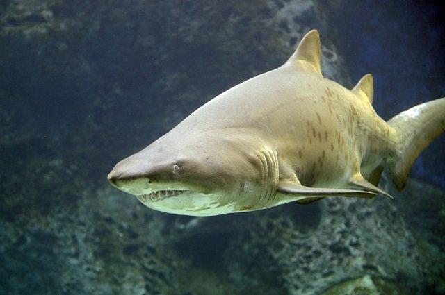 Песчаная акула